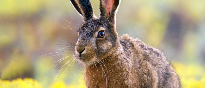 The Queen of Bows – Hare